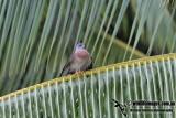 Chinese Sparrowhawk 0670.jpg