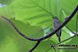 Asian Brown Flycatcher a8786.jpg