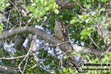 Large Hawk-Cuckoo 2309.jpg