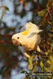 Sulphur-crested Cockatoo 9552.jpg