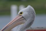 Australian Pelican 1522.jpg