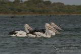 Australian Pelican 3221.jpg