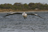 Australian Pelican 3223.jpg