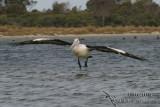 Australian Pelican 3224.jpg