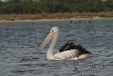 Australian Pelican 3228.jpg