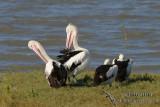 Australian Pelican 8231.jpg