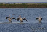 Australian Pelican 8485.jpg