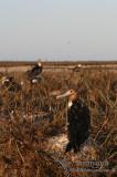 Lesser Frigatebird 2009.jpg