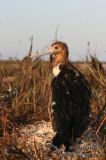 Lesser Frigatebird 2011.jpg