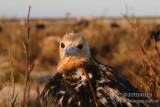 Lesser Frigatebird 2021.jpg