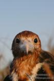 Lesser Frigatebird 2022.jpg