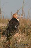 Lesser Frigatebird 9357.jpg