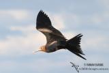 Lesser Frigatebird 9422.jpg