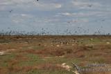 Lesser Frigatebird 9446.jpg