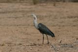 White-necked Heron 5287.jpg