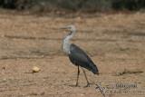 White-necked Heron 5289.jpg