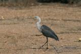 White-necked Heron 5290.jpg