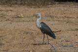 White-necked Heron 5291.jpg