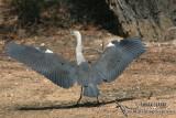 White-necked Heron 5293.jpg