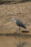 White-necked Heron 5294.jpg