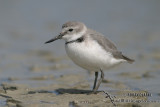 Plovers, Dotterels, Lapwing and Pratincole