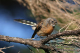 Fantails and Flycatchers