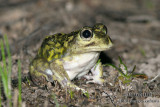Common Spadefoot - Neobatrachus sudelli 7226