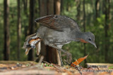 Superb Lyrebird 5928