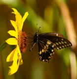 Black Swallowtail