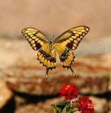 Southern Arizona Butterflies