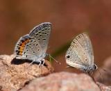 Acmon and Ceraunus Blue's