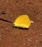 Tailed Orange (Fall Form)