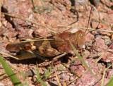 Bluewinged Grasshopper