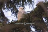 Snowy Owl 5250
