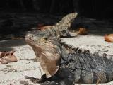 Manuel Antonio National Park - Iguanas
