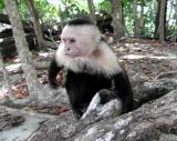 Manuel Antonio National Park - White Faced Monkey