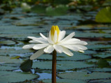 Water Lilly II
