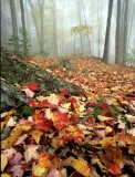 Witch Hazel thru mist
