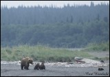 Katmai-Sow w/ 4 cubs, derelict row boat