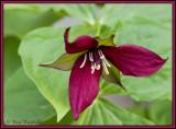Nodding (Red)Trillium