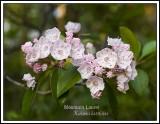 Mountain Laurel, Pennsylvania's State flower