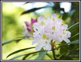Wild Rhododendren