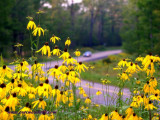 Coneflower Rt44