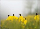 Five coneflowers