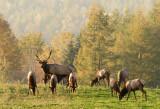 Elk Harem-Benezette, Elk County