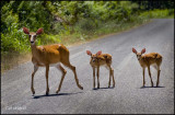 Doe with Fawns