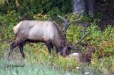 Bull Elk nuzzles cow