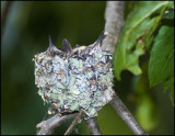 Little Hummers.