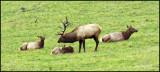 Elk Harem