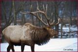 Bull Elk,                  Benezette, Pa.